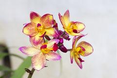Spathoglottis Plicata purple orchids or ground orchid Stock Photo