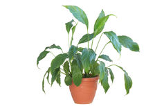 Spatifilium houseplant in a pot. Stock Photo