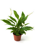 Spatifillum de plante verte (le bonheur des femmes) Photographie stock libre de droits