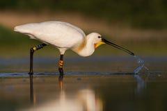 Spatola bianca che mangia pesce ed acqua potabile Immagine Stock Libera da Diritti