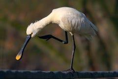 Spatola euroasiatica, leucorodia del Platalea, nell'acqua, ritratto del dettaglio dell'uccello con la fattura piana lunga, Camarg Fotografie Stock