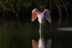 Spatola rosea che beve in una mangrovia fotografie stock libere da diritti