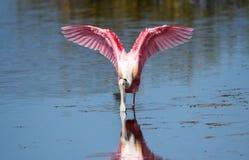 Spatola rosea che guada nel lago fotografie stock