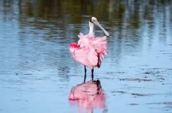 Spatola rosea che guada nel lago fotografia stock libera da diritti