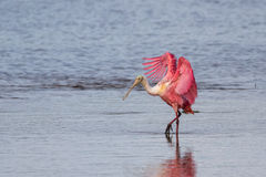 Spatola rosea, J n Ding Darling National Wildlife Refug fotografia stock libera da diritti