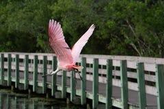 Spatola in volo alla prerogativa di natura Fotografia Stock Libera da Diritti