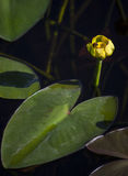 Spatterdock Cow Lily - Bee Visitor Stock Photos