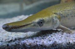 Spatule d'Atractosteus d'orphie d'alligator Photographie stock libre de droits