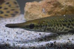 Spatule d'Atractosteus d'orphie d'alligator Image stock
