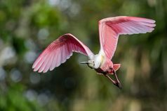 Spatule rose en Floride photos libres de droits