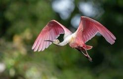 Spatule rose en Floride photo stock