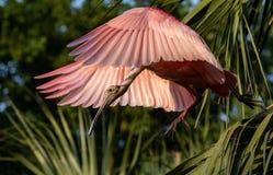 Spatule rose en Floride photos stock