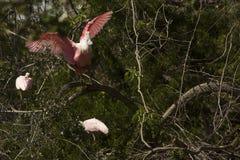 Spatule rose profondément dans un arbre à St Augustine, la Floride photo stock