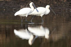 Spatule royale (regia de Platalea) Photo stock