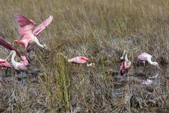 Spatules roses dans un marais photo stock