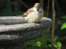Spatz auf einem Vogel-Bad Lizenzfreie Stockfotos