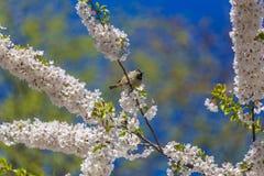 Spatz auf Kirschblüten Lizenzfreie Stockfotografie