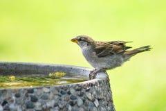 Spatz auf Vogel-Bad Lizenzfreie Stockfotos