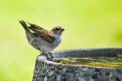 Spatz auf Vogel-Bad Lizenzfreie Stockfotografie