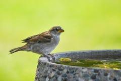 Spatz auf Vogel-Bad Lizenzfreies Stockfoto
