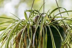 Spatz, der ein Nest in einer Anlage macht 1 Lizenzfreies Stockbild