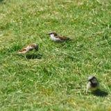 Spatz, der Gras für das Nest sammelt lizenzfreie stockbilder