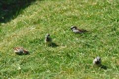 Spatz, der Gras für das Nest sammelt stockfoto