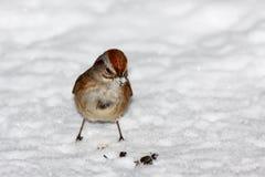 Spatz, der im Schnee steht Stockfotografie