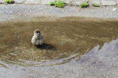Spatz in einem Wasserbecken Lizenzfreie Stockfotos