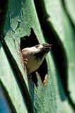 Spatz im Nest Lizenzfreies Stockfoto