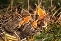 Spatz im Nest Stockfoto
