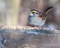 Spatz mit Vogelfutter Lizenzfreie Stockbilder