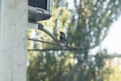 Spatz trinkt Wasser von einem Klimaanlagenrohr Stadtleben von Vögeln Sehr heißer und stickiger Tag Kondensat von der Einheit im F lizenzfreie stockfotos