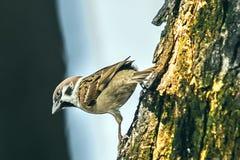 Spatz, wenn die Vögel zurückgehen Passant domesticus gesetztes freies Stockbild