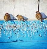 Spatzen aalen sich unter der Sonne Lizenzfreies Stockfoto