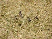 Spatzen auf dem Weizengebiet Stockbilder