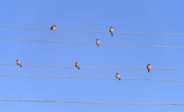 Spatzen auf Stromleitungen Stockfotografie