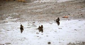 Spatzen baden in einem kalten Pool des Eises Frühling Stockfotografie