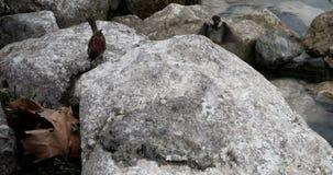 Spatzen, die auf den Strand unter den Felsen einziehen stock video footage