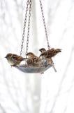 Spatzen, die an der Vogel-Zufuhr sich treffen Stockfoto