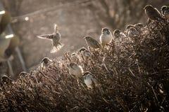 Spatzen fliegen vom Busch im Frühjahr lizenzfreie stockfotos