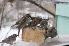 Spatzen hungrig für Brot im Winter Stockbilder