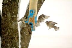 Spatzen-Kampf bei Birdfeeder Stockfotografie