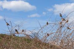 Spatzen sitzen auf Niederlassung und aalen sich im Frühjahr Sonnenschein Lizenzfreie Stockfotografie