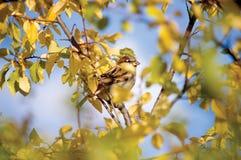 Spatzen-Vogel-Herbst-Versteck Stockfotos