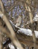 Spatzenfalke, der auf einem Zweig sitzt. Lizenzfreie Stockfotografie