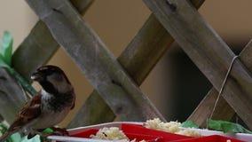 Spatzenfilm beim Essen stock video