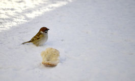 Spatzenvogel im Schnee und im Stück eines Brotes Stockfoto