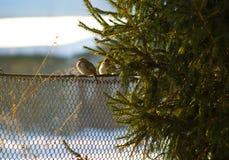 Spatzenvogel Spatz im Winter nahe dem Weihnachtsbaum stockbild