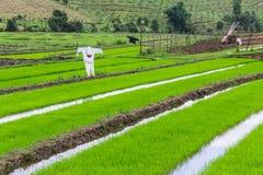 Spaventapasseri nel giacimento del riso, Tailandia Immagine Stock